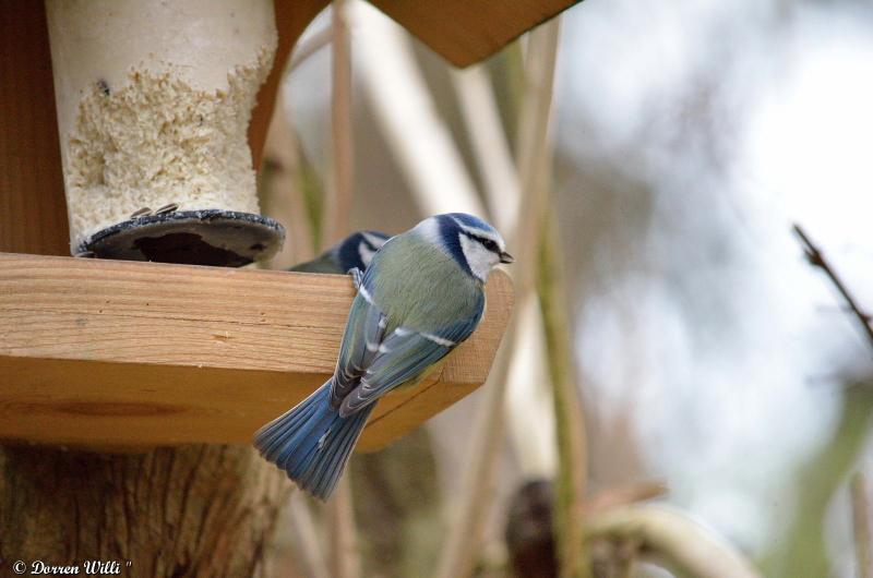Bagarre entre 2 mésanges bleue / 26 nov 2012 Dpp_-oiseaux---0001-39ecb83