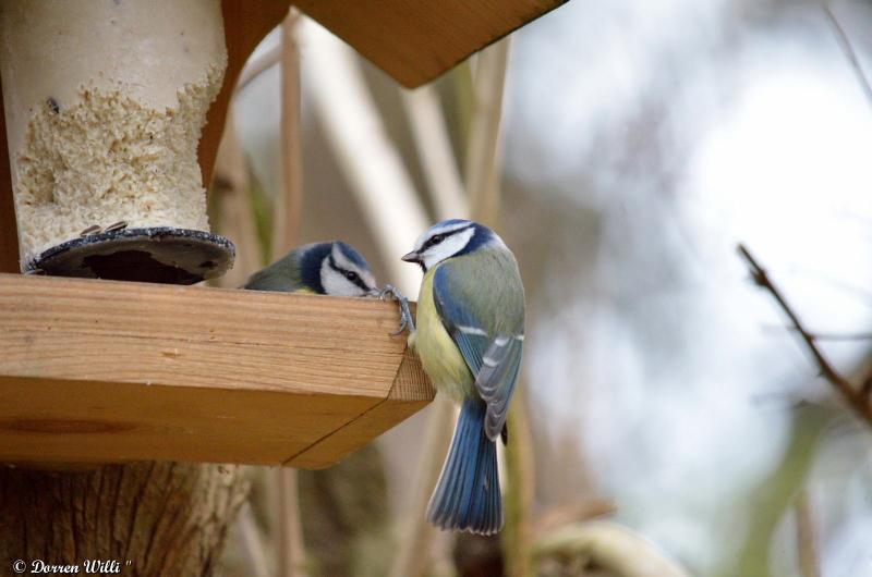 Bagarre entre 2 mésanges bleue / 26 nov 2012 Dpp_-oiseaux---0002-39ecb85